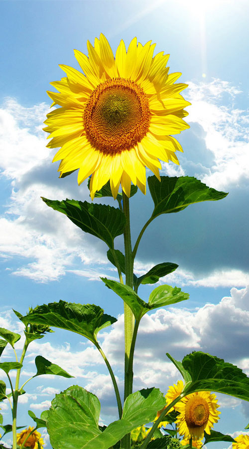Sunflower flourishing in the bright sunlight